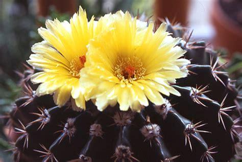 fiori di cactus piante fiore di cactus forum di giardinaggio it