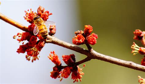 maple tree allergies maple rosecomb apiaries