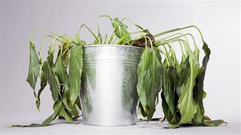 how to revive a dying plant reviving indoor plants you thought were past saving