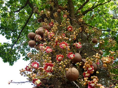 sals fruit tree did you st lucia news