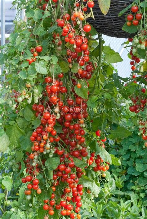 cherry tomato container gardening cherry tomatoes cherry cascade hanging from pot