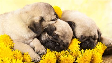 pug puppies raleigh nc as these adorable sleepy pug puppies go to bed abc11