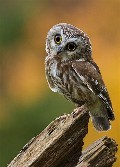 pin by bob kenley on owls pinterest beautiful my
