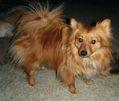 pomeranian club of america breeders pomimo breed information and pictures