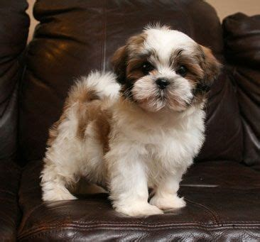 what is a shih tzu look like teddy maltese shih tzu puppies are here take this adorable home