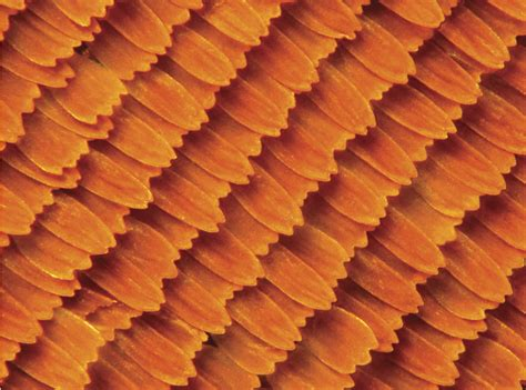 Orange Color by Magnified Monarch Wing This Photo Zooms In On The