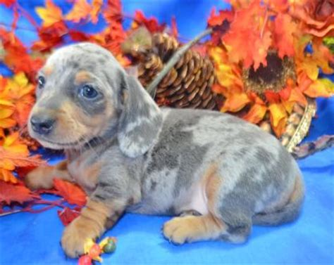 puppies for sale raleigh nc dachshund breeders raleigh nc dogs in our photo