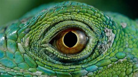 iguana eye painting