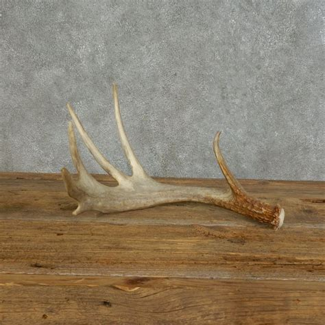 Deer Antler Sheds For Sale by Whitetail Deer Antler Shed For Sale 16150 The Taxidermy
