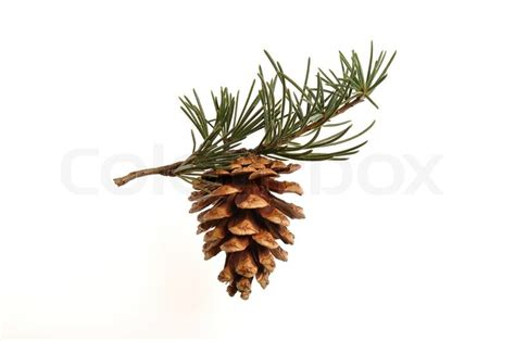 pinecone tree pine cone hanging on a pine tree branch stock photo