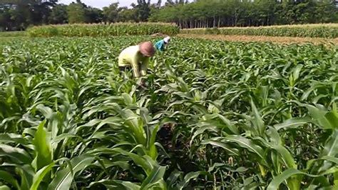 Gambar Benih Jagung Manis gambar pertaniannya musriati panduan budidaya jagung manis