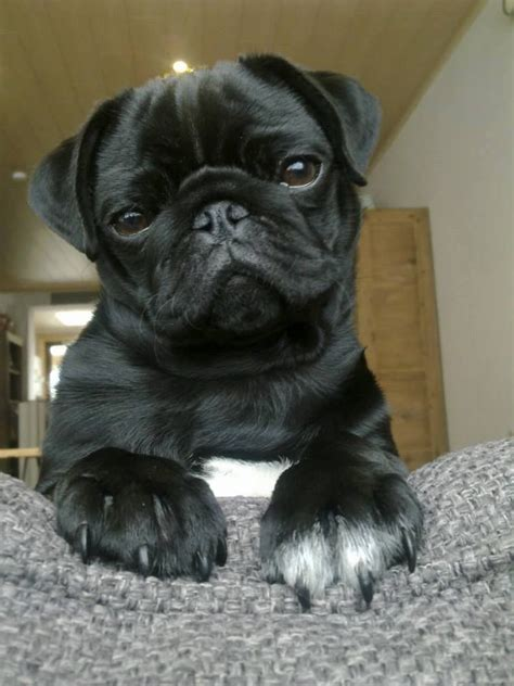 pug puppies sydney white paw