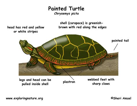 cycle of a turtle diagram turtle painted