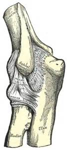 radial collateral ligament of joint