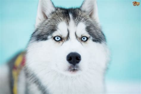 wolf looking dogs how closely related are the siberian husky and the wolf pets4homes