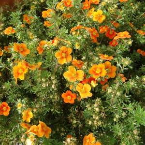potentilla fruticosa plant kobold trees and shrubs