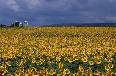 sunflower farm stock gallery farming sunflower farm 117729