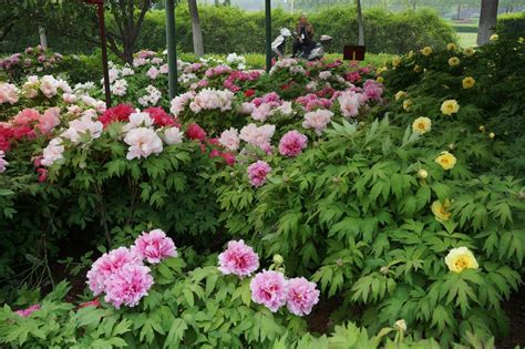 peony tours peony perfection ross garden tours