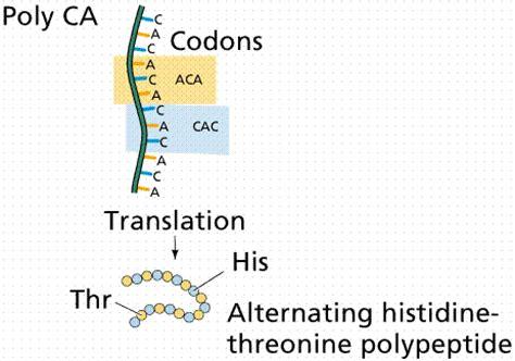 h protein define lon capa protein synthesis