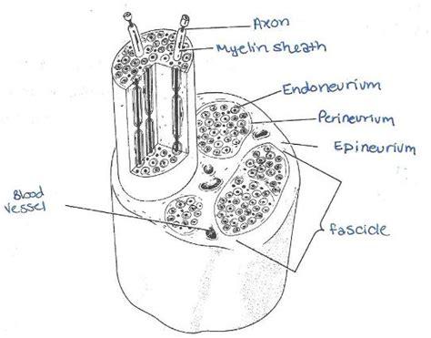 Print Exercise 17 Histology Of Nervous Tissue Flashcards