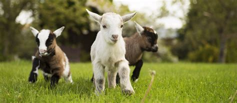 new year goat message baby goats born news from the olde house the olde house