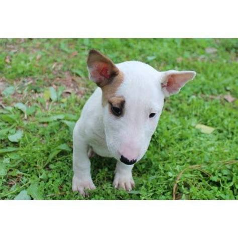 miniature bull terrier puppies for adoption miniature standard bull terrier puppies for sale adoption from dallas adpost