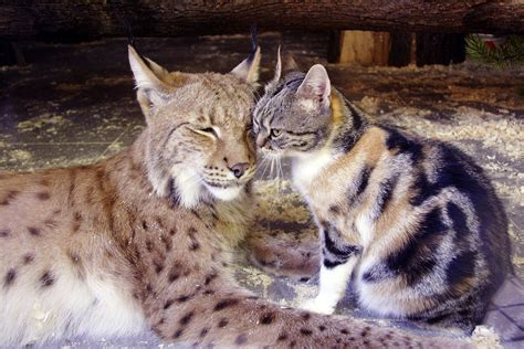Lynx House Cat by 11 Animal Friendships That Prove True Is Blind