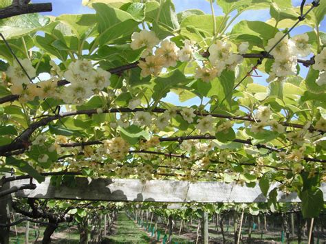 kiwi fruit trees file kiwifruit flowers jpg