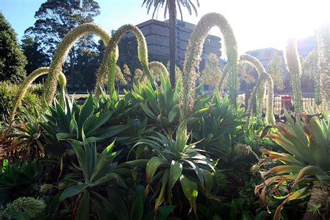 agave in vaso agave fiore piante grasse cura agave fiore