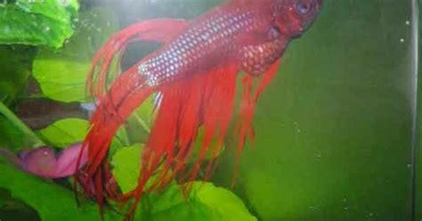 Makanan Ikan Cupang Agar Warna Bagus ciri ikan cupang sakit