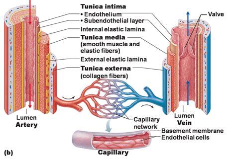 labeled artery diagram artery diagrams diagram site