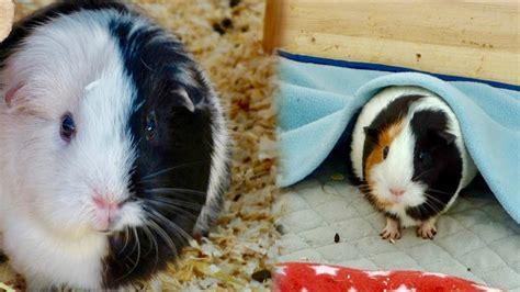 Fleece Blankets For Guinea Pigs by Guinea Pig Fleece Vs Bedding