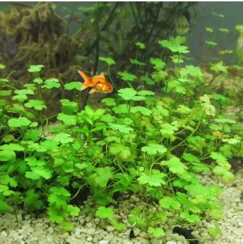 Pupuk Dasar Aquascape Murah jual tanaman karpet foreground aquascape murah april 2016