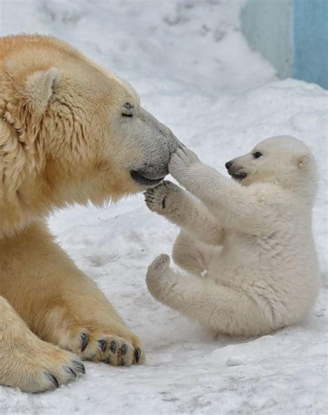 imagenes bonitas osos beautiful moment between mama polar bear and cub