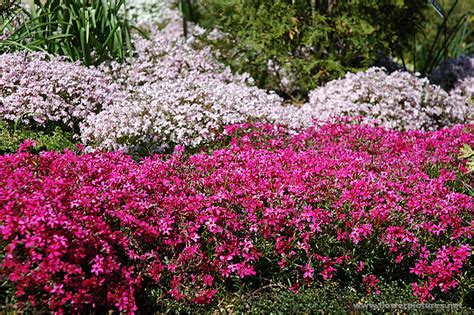 pictures of flowers creeping phlox