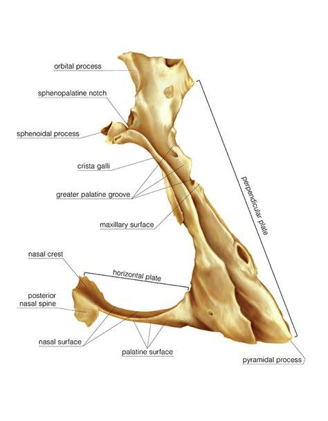 palatine bone palatine bone photograph by asklepios medical atlas