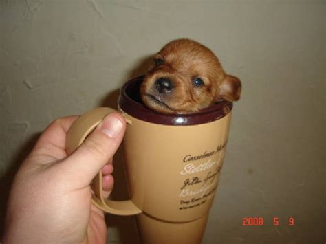 miniature dachshund pomeranian mix the gallery for gt teacup dachshund puppy