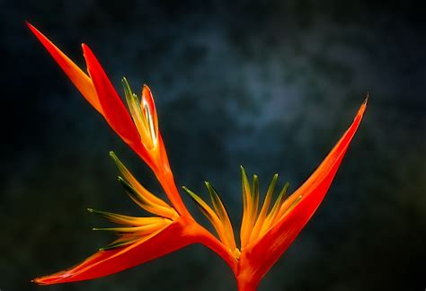 fiore uccelli paradiso fiore uccelli paradiso fiori idea immagine