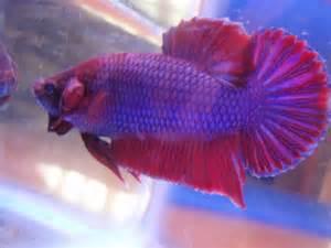 betta fish colors betta fish colors the fish doctor