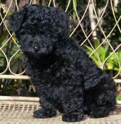 Black poodle photo and wallpaper beautiful black poodle pictures