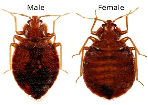 Do Bed Bugs Antennas by What Do Bed Bugs Look Like
