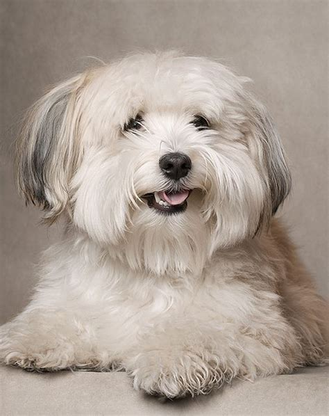 255 Best Images About Grooming Shih Tzu Havanes On