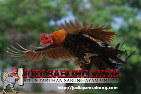 Minyak Urut Cimande tips merawat dan melatih ayam bangkok kebal pukulan