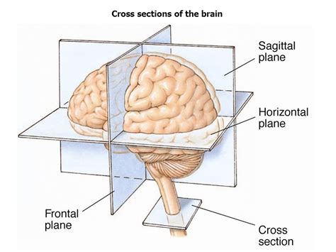 the brain sections structure of the nervous system ppt video online download
