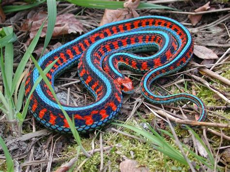 pigmentation pattern formation on snakes 155 best images about pet snake on pinterest
