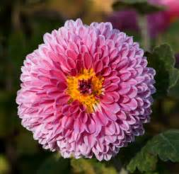 Chrysanthemum by File Chrysanthemum Morifolium 08nov Jpg
