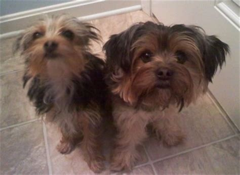 chihuahua and yorkie mix for sale terrier haired breeds picture