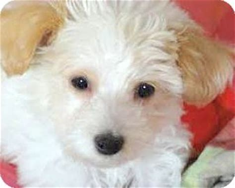 goldendoodle puppy ri miss peanut our quot goldendoodle quot adopted puppy wakefield