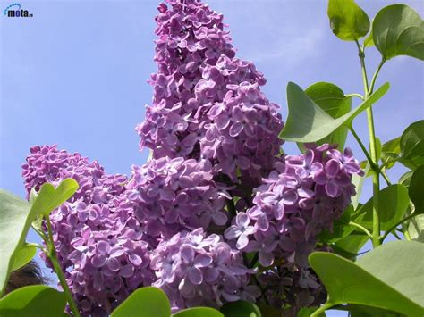 purple lilac closed doors open windows remembering mama or quot a kiss