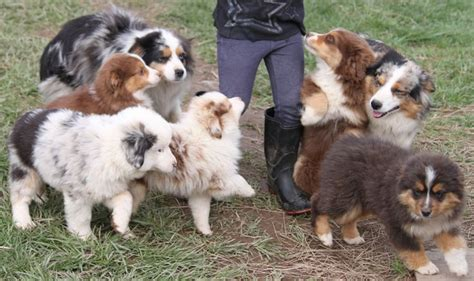 mainly puppies 711 best the farm dogs mainly border collies images